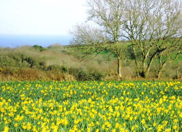 daffodils 1 (2)